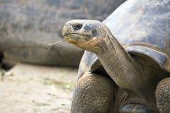 Galapagos giant tortoise (Chelonoidis nigra) Stock Photos