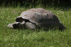 Galapagos giant tortoise (Chelonoidis nigra porteri). Santa Cruz Galapagos giant tortoise (Chelonoidis nigra porteri). Wildlife animal stock photo