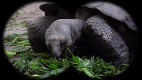 Galapagos Giant Tortoise Chelonoidis Nigra Seen through Binoculars. Watching Animals at Wildlife Safari. Shot with a Sony a6300 fps 29,97 4k stock video