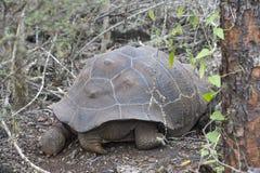 Galapagos giant tortoise. Chelonoidis nigra ssp, Santa Cruz Island, Galapagos Islands, Ecuador stock photography