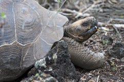 Galapagos giant tortoise. Chelonoidis nigra ssp, Santa Cruz Island, Galapagos Islands, Ecuador stock images