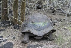 Galapagos giant tortoise. Chelonoidis nigra ssp, Santa Cruz Island, Galapagos Islands, Ecuador royalty free stock photography