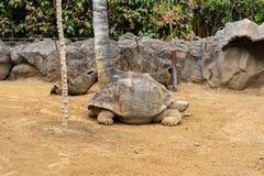 Galapagos giant tortoise. Cheloponoidis elephantopus is crawling on the ground royalty free stock photos