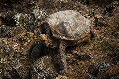 Galapagos giant tortoise climbing down rocky slope Royalty Free Stock Image