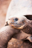 Galapagos giant tortoise Stock Photos