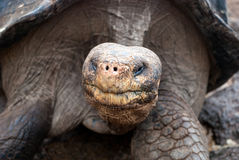 Giant tortoise at Charles Darwin Research Station, Galapagos Islands Royalty Free Stock Photo