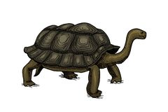 Galapagos giant tortoise. Cute Turtle in Ecuador. Animals Reptiles. Pet and Wildlife. Engraved hand drawn in old vintage. Sketch. Vector illustration. Exotic Stock Photos