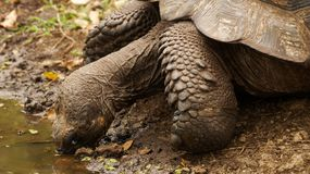 Galapagos Giant Tortoise drinking. Galapagos Islands royalty free stock images