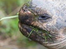Galapagos giant tortoise eating Stock Photo
