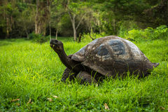 Galapagos giant tortoise eating grass in woods Royalty Free Stock Photo
