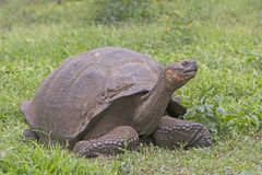 Galapagos Giant Tortoise in a Field Stock Photo