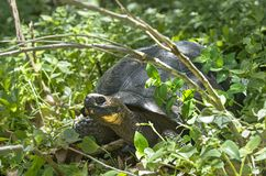 Galapagos giant tortoise. Chelonoidis nigra ssp, Santa Cruz Island, Galapagos Islands, Ecuador royalty free stock photo