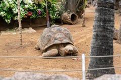Galapagos giant tortoise. Cheloponoidis elephantopus is crawling on the ground royalty free stock image