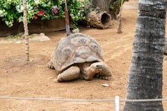 Galapagos giant tortoise. Cheloponoidis elephantopus is crawling on the ground stock photography