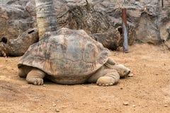 Galapagos giant tortoise. Cheloponoidis elephantopus is crawling on the ground stock photo