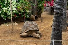 Galapagos giant tortoise. Cheloponoidis elephantopus is crawling on the ground royalty free stock photo