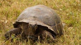 Galapagos Giant Tortoise. Galapagos Giant Tortoise in Ecuador stock photography