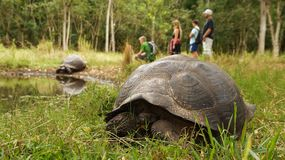 Galapagos Giant Tortoise. Galapagos Island royalty free stock images