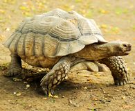 Galapagos giant tortoise. The largest living species of tortoise stock images