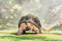 Galapagos giant tortoise and garden water sprayer. Galapagos giant tortoise - Chelonoidis nigra and garden water sprayer. Largest living species of turtle stock photography