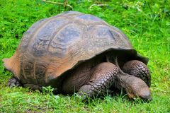 Galapagos giant tortoise on Santa Cruz Island in Galapagos Natio Royalty Free Stock Photography