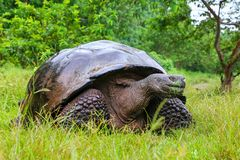 Galapagos giant tortoise on Santa Cruz Island in Galapagos National Park, Ecuador. Galapagos giant tortoise Geochelone elephantopus on Santa Cruz Island in royalty free stock photos