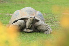 Galapagos giant tortoise. In the grass stock photography