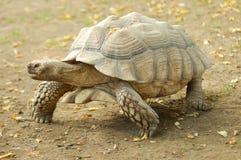 Galapagos giant tortoise Stock Images