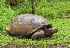 Galapagos giant tortoise. In in Galapagos National Park, Ecuador stock photography