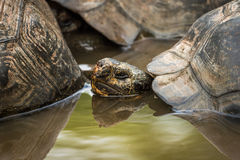 Galapagos giant tortoise in pond behind another Stock Photos