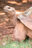 Galapagos giant tortoise. Portrait of a Galapagos giant tortoise royalty free stock photography