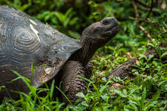 Galapagos giant tortoise in profile in woods Royalty Free Stock Images
