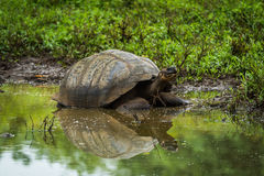 Galapagos giant tortoise reflected in shallow pond Royalty Free Stock Photo