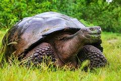Galapagos giant tortoise on Santa Cruz Island in Galapagos National Park, Ecuador. Galapagos giant tortoise Geochelone elephantopus on Santa Cruz Island in stock photography