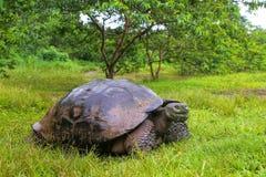 Galapagos giant tortoise on Santa Cruz Island in Galapagos National Park, Ecuador. Galapagos giant tortoise Geochelone elephantopus on Santa Cruz Island in royalty free stock images