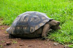 Galapagos giant tortoise on Santa Cruz Island in Galapagos Natio Stock Photography