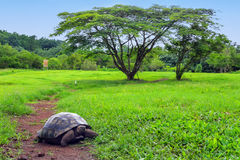 Galapagos giant tortoise on Santa Cruz Island in Galapagos National Park, Ecuador. Galapagos giant tortoise Geochelone elephantopus on Santa Cruz Island in royalty free stock images