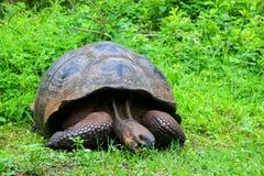Galapagos giant tortoise on Santa Cruz Island in Galapagos Natio Royalty Free Stock Photos