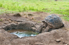 Galapagos Giant Tortoise seeking water Royalty Free Stock Image