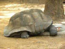 Galapagos giant tortoise Testudo Elephantopus. Found in Galapagos islands stock images