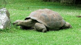 Galapagos giant tortoise turtle eating grass - Chelonoidis
