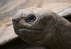 Galapagos giant tortoise turtle portrait. Old skinny head royalty free stock image