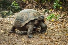 Galapagos giant tortoise walking along gravel path Royalty Free Stock Image