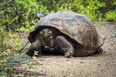 Galapagos giant tortoise walking down gravel path Royalty Free Stock Photography