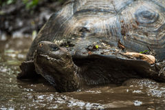 Galapagos giant tortoise wallowing in muddy pond Royalty Free Stock Photos
