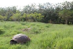 Galapagos giant tortoise Stock Photos