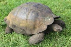 Galapagos giant tortoise Stock Photo