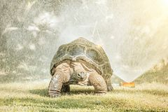 Galapagos giant tortoise and water sprayer, sun rays. Galapagos giant tortoise - Chelonoidis nigra and garden water sprayer. Largest living species of turtle royalty free stock photo