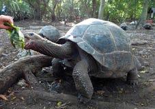 A Galapagos Giant Tortoise in Zanzibar, Tanzania. Feeding Time stock photo