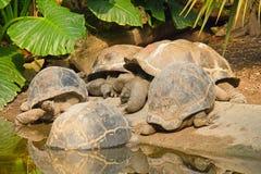 Galapagos Giant Tortoises. A group of Galapagos Giant Tortoises (Geochelone nigra royalty free stock images
